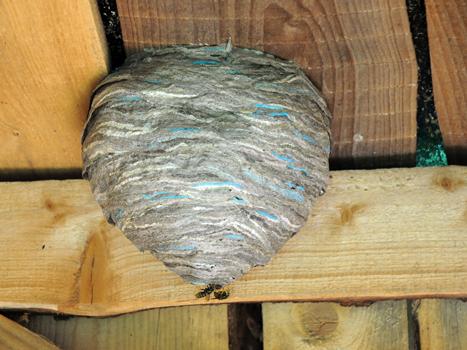 nid de frelons plafond bois éradiquer IDF