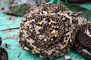 détruire un nid de guêpes avec un aspirateur