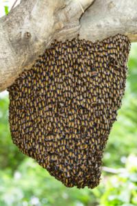GD Guepes enlèvement IDF essaim d'abeilles